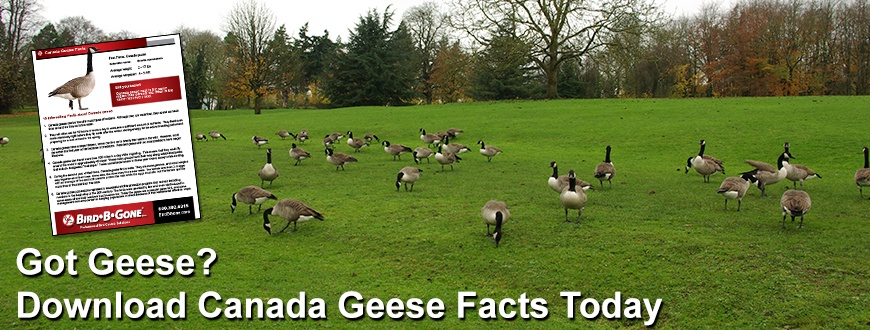 Canada_Goose_Facts_870x330