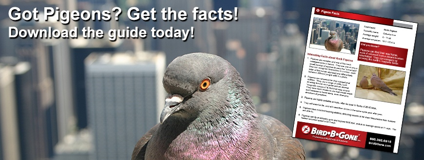 Pigeon_facts_870x330